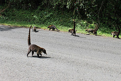 Coatis playing in the road